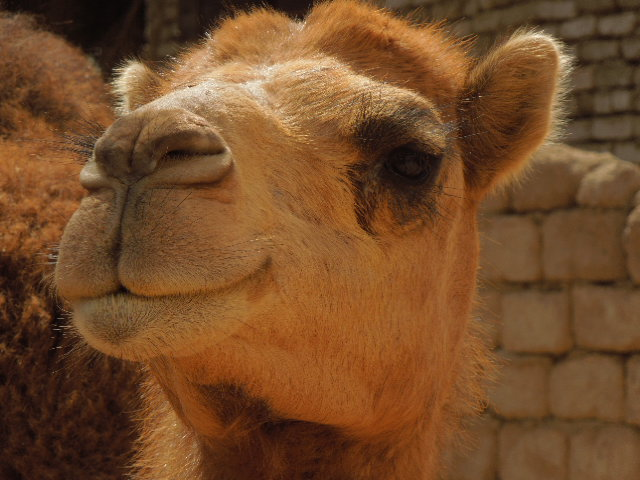 image of a camel